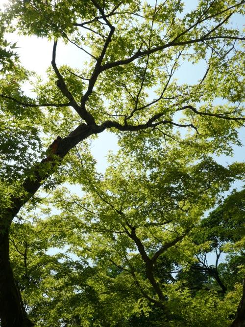 jindai treetops2